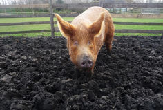 Big Muddy Pig Royalty Free Stock Photo