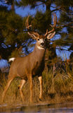 Big Mule Deer Buck Royalty Free Stock Images
