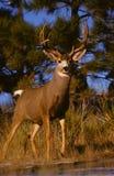 Big Mule Deer Buck royalty free stock images