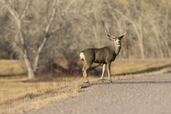 Big mule deer buck. In Bosque Del Apache New Mexico Stock Photo