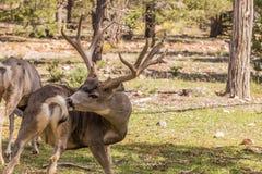 Big Mule Deer Buck Stock Images