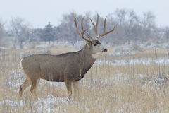 Big Mule Deer Buck Stock Image
