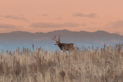 Big Mule Deer Buck. A nice mule deer buck in a grass meadow at sunrise Stock Photos