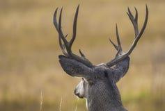 Big mule deer buck. A big mule deer buck during the rut season in the fall Stock Photography