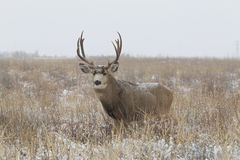 Big Mule Deer Buck in Snowy Field Royalty Free Stock Image