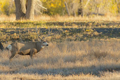 Big Mule Deer Buck Stock Photo