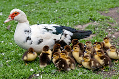 Big Muscovy Stock Photography