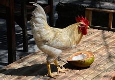 Strong white rooster watching his coconut. royalty free stock image