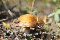 Big mushroom an aspen mushroom in the wood. Royalty Free Stock Images