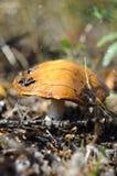Big mushroom an aspen mushroom in the wood. Royalty Free Stock Photo