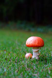 Big mushroom  on  rainy season Stock Image