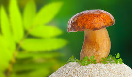 Big mushroom with raw rice Stock Image
