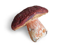 Big mushroom on white background with clipping path. Stock Image