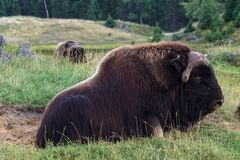 Musk Ox in a forest of Canada royalty free stock photography