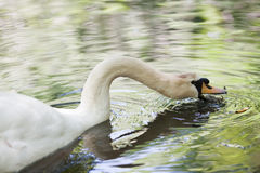 Big mute swan searching for food in water Royalty Free Stock Images