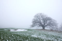 Big naked oak tree in the mist Royalty Free Stock Image