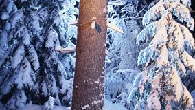Big naked tree trunk covered by snow shown at freezing winter night in forets. View of big brown naked tree trunk covered with snow in silent winter forest stock video footage
