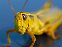 Big Nasty Grasshopper Stock Photography
