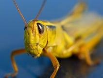 Big Nasty Grasshopper Stock Photography