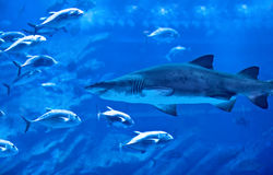 Big natural aquarium. Image of big natural aquarium, aggressive shark, great group of exotic fish, majestic marine world, oceanic life, underwater fauna, diving Stock Images