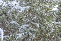 Big natural green pine tree covered with snow on season winte. R day Stock Photos