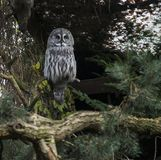 Big nebulosa strix lapland owl. In zoo Amersfoort stock images