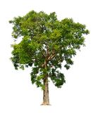 Neem tree. Big Neem  tree isolated on white background Azadirachta indica, siamensis Valeton, perennial plant Stock Photography
