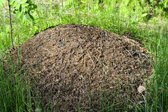 Big nest of ants in the forest Royalty Free Stock Photo