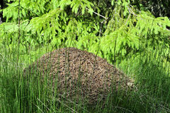 Big nest of ants in the forest Stock Photography