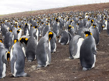 Big nesting colony king penguin, Aptenodytes patagonicus, Volunteer point, Falkland Islands - Malvinas. The Big nesting colony king penguin, Aptenodytes Royalty Free Stock Images