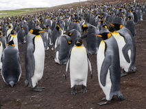 Big nesting colony king penguin, Aptenodytes patagonicus, Volunteer point, Falkland Islands - Malvinas Stock Photography