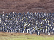Big nesting colony king penguin, Aptenodytes patagonicus, Volunteer point, Falkland Islands - Malvinas. The Big nesting colony king penguin, Aptenodytes Royalty Free Stock Photos