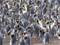 Big nesting colony king penguin, Aptenodytes patagonicus, Volunteer point, Falkland Islands - Malvinas. The Big nesting colony king penguin, Aptenodytes Stock Photography