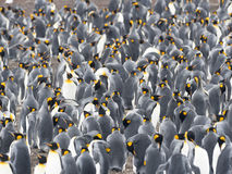 Big nesting colony king penguin, Aptenodytes patagonicus, Volunteer point, Falkland Islands - Malvinas. The Big nesting colony king penguin, Aptenodytes Royalty Free Stock Photo