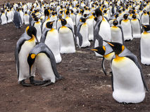 Big nesting colony king penguin, Aptenodytes patagonicus, Volunteer point, Falkland Islands - Malvinas. The Big nesting colony king penguin, Aptenodytes Stock Photo