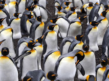 Big nesting colony king penguin, Aptenodytes patagonicus, Volunteer point, Falkland Islands - Malvinas. The Big nesting colony king penguin, Aptenodytes Royalty Free Stock Image