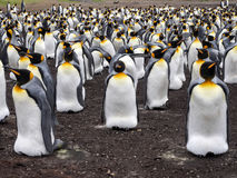 Big nesting colony king penguin, Aptenodytes patagonicus, Volunteer point, Falkland Islands - Malvinas. The Big nesting colony king penguin, Aptenodytes Stock Photos