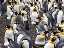 Big nesting colony king penguin, Aptenodytes patagonicus, Volunteer point, Falkland Islands - Malvinas. The Big nesting colony king penguin, Aptenodytes Royalty Free Stock Photography