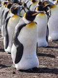 Big nesting colony King penguin, Aptenodytes patagonicus, Volunteer point, Falkland Islands - Malvinas Stock Photo