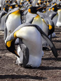 Big nesting colony King penguin, Aptenodytes patagonicus, Volunteer point, Falkland Islands - Malvinas Stock Photos