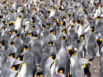 Big nesting colony King penguin, Aptenodytes patagonicus, Volunteer point, Falkland Islands - Malvinas Royalty Free Stock Image