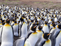 Big nesting colony King penguin, Aptenodytes patagonicus, Volunteer point, Falkland Islands - Malvinas Royalty Free Stock Photos