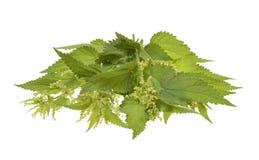 Big nettle herb plant Stock Image