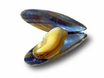 The big New Zealand mussel Royalty Free Stock Photo