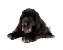 Big newfoundland Royalty Free Stock Photography