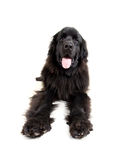Big newfoundland Stock Photo