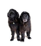 Big newfoundlands Royalty Free Stock Images