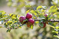 Big nice apples ripening on apple tree in sunny orchard garden on blurred green background stock image