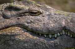 Big Nile Crocodile with teeth showing. Portrait Royalty Free Stock Photo