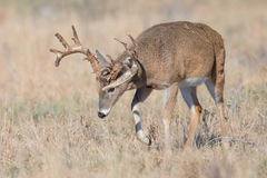 Big non-typical whitetail buck smelling the trail of a hot doe Royalty Free Stock Images